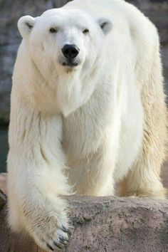 The polar bear is classified as a vulnerable species, with eight of the nineteen polar bear subpopulations in decline. Animals Of The World, Animals And Pets, Cute Animals, Majestic Animals, Animals Beautiful, Polar Bears International, Wooly Bully, Baby Polar Bears, Love Bear