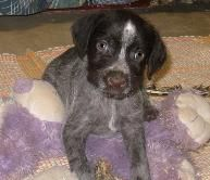Wirehair German Pointer, from Hessenjaeger