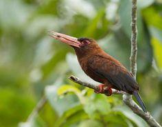Foto sovela-vermelha (Galbalcyrhynchus purusianus) por Ester Ramirez   Wiki Aves - A Enciclopédia das Aves do Brasil