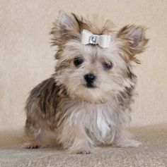 Morkie Puppie OMG THIS IS THE CUTES DOG EVER ( besides mine)