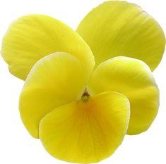 Fleurs détourées au format PNG Libres de Droits gratuites - Free