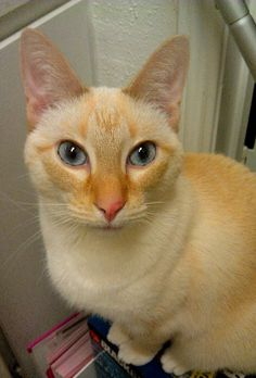 My inspirational flame point Siamese cat, LingLing. Amazing.
