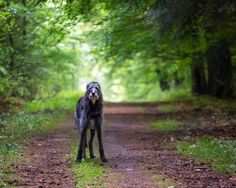"Scottish Deerhound -  was bred to hunt red deer by ""coursing"", and also ""deer-stalking"" until the end of the 19th century. With modern rifles and smaller deer-forests, slower tracking dogs were preferred to fast and far-running Deerhounds."
