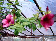 Alamanda Blanchettii Colorful Plants, Garden Plants, Beautiful Flowers, Flora, Gardening, Art, Perennials, Nuthatches, Window Boxes
