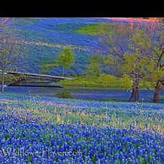 Bluebonnet's in Texas Hill Country  @Ellie Tingey made me think of you!  Is it really thi s beautiful??  I'm jealous!