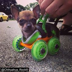 TurboRoo, a #Chihuahua born without its front legs, was given 3D printed wheels made by a company called 3dyn. Now he's training to be a service/educator dog so that he can inspire children with similar disabilities!  #puppy   #life
