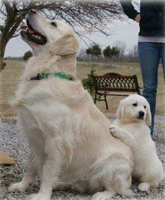 Beautiful Golden Retriever with their puppy! Too cute for words!