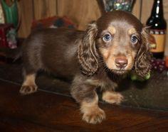 Miniature Longhair Dachshund Puppies