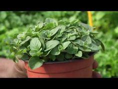 Jak pěstovat bylinky. Prohlédnout video