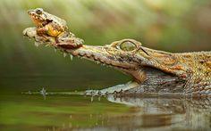 Frog on Crocodile's Nose HD Wallpaper Frog Wallpaper, Wildlife Wallpaper, Animal Wallpaper, Wallpaper Backgrounds, Crocodile Facts, Crocodile Animal, Fun Facts About Animals, Animal Facts, Hd Desktop