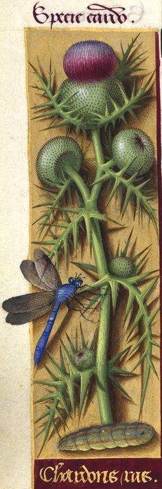 Chardons ras - Specie cardo (Cirsium eriophorum Scop. = chardon des ânes) -- Grandes Heures d'Anne de Bretagne, BNF, Ms Latin 9474, 1503-1508, f°86v