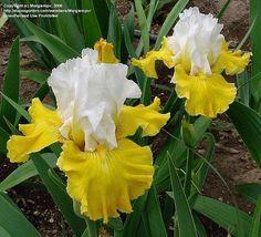 Tall Bearded Iris Flowers | Tall Bearded Iris 'Aura Light' (Iris ) | Flickr - Photo Sharing!