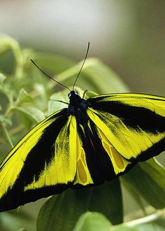 Goliath Birdwing Butterfly - by Konrad Wothe