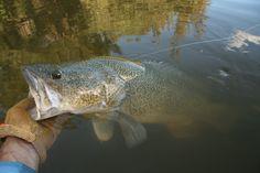 Murray Cod Summer Fun, Cod, Fishing, Cod Fish, Atlantic Cod, Summer Fun List, Bass Fishing, Peaches, Pacific Cod