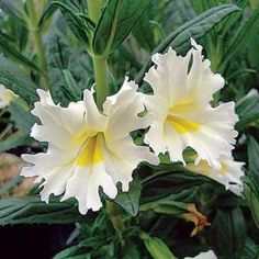 Beloved for their showy flowers and long bloom time, Monkey Flowers are invaluable for use as container plants or in the ground for mild winter regions like coastal CA, western Oregon and Washington. The Mimulus Georgie are vigorous, long blooming hybrids with big, showy flowers in four brilliant colors.