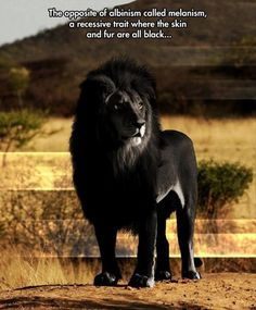 Beautiful rare Black Lion.   The opposite of albinism called melanism, a recessive trait where the skin and fur are all black...