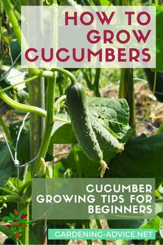 Vegetables Gardening How To Grow Cucumbers - Growing Cucumbers is quite easy and well worth it. Garden Tips on how to grow the healthiest cucumber plants and the best cucumber varieties. Growing Tomatoes, Growing Vegetables, Gardening Vegetables, Cucumber Plant, How To Plant Cucumbers, Home Vegetable Garden, Veggie Gardens, Organic Gardening Tips, Gardens