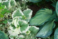 Brunnera Dawson's White (false forgetmenot) with Hosta Guardian Angel, two variegated perennial foliage plants together