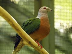 Purple-tailed Imperial pigeon