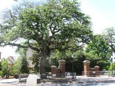 Image detail for -AUBURN, Alabama -- Toomers famed oaks in Auburn showed substantial growth earlier in the spring, but it looks like the signs of poisoning are returning. WTVM reports ...