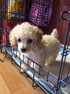 """Share this Pin with anyone needing to potty train a puppy or dog! Daisy from South Carolina – Toy Poodle. PTPA Review: """"We love our Puppy Apartment"""" Wanda – South Carolina. Animals – Puppy Potty Training for dogs. Click here for more testimonials and to watch our world-famous video: modernpuppies.com"""