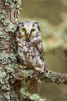 Close-up of a Boreal owl (Aegolius funereus) perched in a lichen covered tree in Czech Republic -