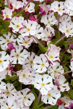 ★ Zaluzianskya ovata (Night Phlox). Sherbert sweet scented flowers.