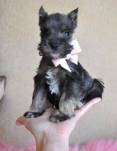 Tiny Toy Schnauzer Puppy. Obviously the bow was necessary. Wouldn't have been cute enough without. Yeah, right.