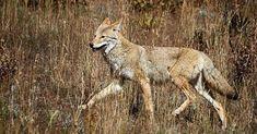 Basic Coyote Hunting Basic Coyote Hunting Tips Bow Hunting Deer, Whitetail Deer Hunting, Quail Hunting, Coyote Hunting, Hunting Guns, Turkey Hunting, Archery Hunting, Hunting Stuff, Crossbow Hunting