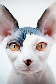 gato esfinge precio