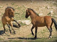 """Wild-horse advocates are challenging U.S. Bureau of Land Management plans this summer to round up the famous Kiger and Riddle Mountain mustang herds in eastern Oregon, arguing the agency is developing a """"master breed"""" of wild horses exhibiting characteristics of old Spanish bloodlines that are popular with the public, rather than maintaining wild horses in natural conditions, as the law requires."""