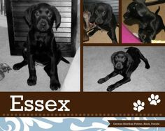 Adoption pending - Essex is a female dog, German Shorthaired Pointer Mix, located at Puppy Love Rescue in West Bend, WI.