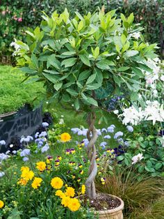 braided Bay tree topiary - attractive and useful Bay Leaf Plant, Bay Leaf Tree, Bay Trees, Water Plants, Cool Plants, Bay Laurel Tree, Hardscape Design, Garden Trees, Easy Garden