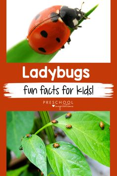 Here are 20 ladybug facts for kids while doing a ladybug theme, learning about ladybugs, or learning about insects and bugs. Toddlers and preschoolers love ladybugs! Bug Activities, Preschool Themes, Preschool Science, Toddler Preschool, Learning Activities, Fun Facts For Kids, Learning Games For Kids, Preschool Garden, Teaching Babies