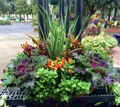 Window boxes... Crotons, iris, cabbage, petunias and ornamental peppers...