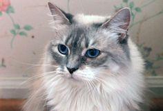 Princess-an-adoptable-Persian-mix-in-South-Carolina