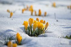 Crocus in the snow. by jillyspoon perce-neige . Spring Fever, Early Spring, Yellow Crocus, Spring Sign, Spring Is Coming, Winter Beauty, Spring Has Sprung, Winter Springs, Mellow Yellow
