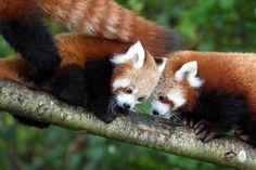 the Red Panda - Infogram, charts & infographics