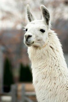 Large Llama At The Farm © 2014 Laura Duhaime Alpacas, Llamas Animal, Llama Drawing, Farm Animals, Cute Animals, Llama Pictures, Cute Alpaca, Ostriches, Pose Reference