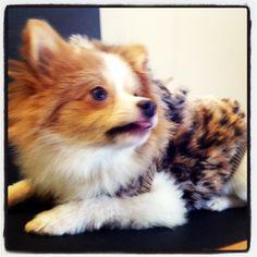 Sebastian the Pomeranian is rockin his faux fur jacket!