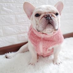 The major breeds of bulldogs are English bulldog, American bulldog, and French bulldog. The bulldog has a broad shoulder which matches with the head. French Bulldog Breed, French Bulldog Facts, Bulldog Breeds, Cute French Bulldog, French Bulldogs, Baby Bulldogs, English Bulldogs, French Bulldog Names Girl, French Bulldog Prices