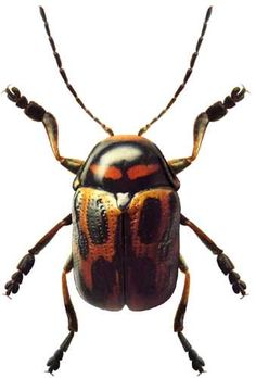 K.E. Dovgailo: photographs of beetles