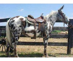 Appaloosa Mule
