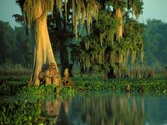 Tree, Cypress Flats, Alligator Bayou, near Baton Rouge, Louisiana - a great place to snorkel and canoe or kayak! Bayou Country, Louisiana Swamp, Cypress Trees, Cypress Swamp, Fine Art America, Nature, Beautiful Places, Places To Visit, Around The Worlds