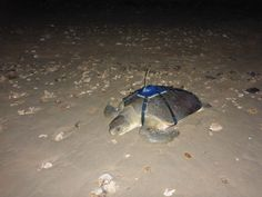 PHOTO: Dropbear the flatback turtle is tracked from Thevenard Island http://myd.as/p8051