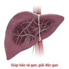 Nấm lim xanh tự nhiên và công dụng với các bệnh về gan