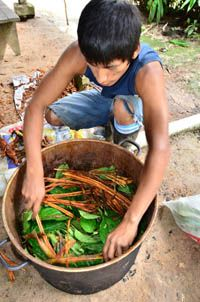Ayahuasca in the Amazon forests