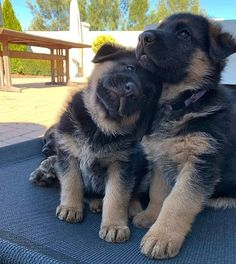 Tips You Should Know When Dealing With Dogs – Info About The Dog – Sandra Hartmann - Baby Animals Super Cute Puppies, Cute Baby Dogs, Cute Dogs And Puppies, Cute Baby Animals, Gsd Puppies, German Rottweiler Puppies, Adorable Puppies, Adorable Kittens, Husky Puppy