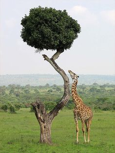 Broccoli tree and giraffe, Kenya.