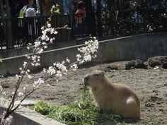 Capybara sakura viewing